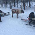 フィンランドのサーリセルカ旅行でトナカイぞり おすすめのアクティビティ予約方法